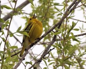 Yellow Warbler  5/4/12
