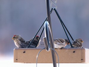 Redpolls on Valentine's Day