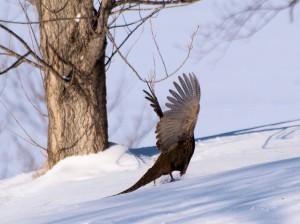 Pheasant 1/3/2013