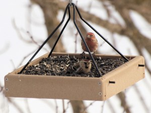 House Finch 3/22/13