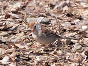Field Sparrow 4/27/13