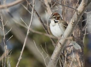 Lark Sparrow 4/26/13