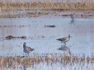 Lesser Yellowlegs 4/26/13