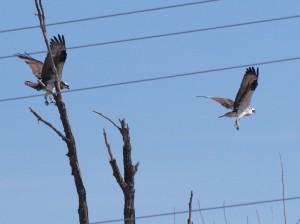 Ospreys 4/27/13