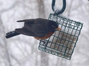 American Robin 4/18/13