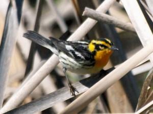 Blackburnian Warbler 5/23/13