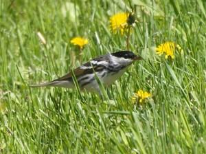 Blackpoll Warbler 5/23/13
