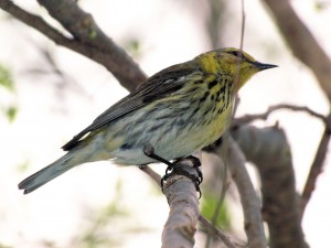 Cape May Warbler 5/18/13