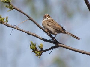 Clay-colored Sparrow 5/16/13