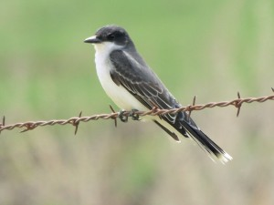 Eastern Kingbird 5/19/13