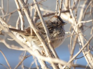 Lincoln's Sparrow 5/2/13
