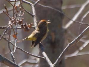 Palm Warbler 5/10/13