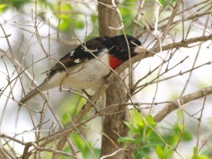 Rose-breasted Grosbeak 5/19/13
