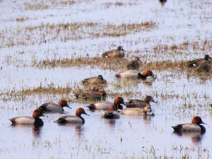 Redheads with Blue-winged and Green-winged Teals 5/2/13