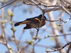 American Redstart 5/16/13
