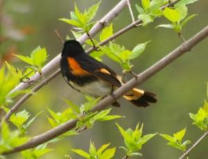 American Redstart 5/28/13