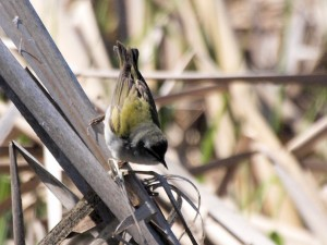 Tennessee Warbler 5/23/13