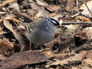 White-crowned Sparrow 5/5/13