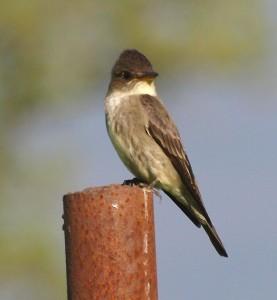 Olive-sided Flycatcher 6/7/13