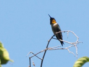 Ruby-throated Humingbird 7/16/13