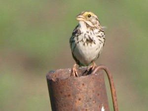 Savannah Sparrow 7/16/13