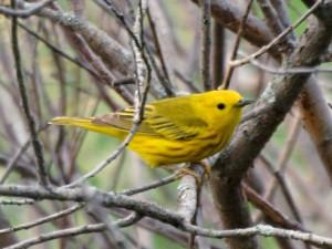 Yellow Warbler 7/08/13