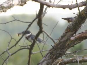 Kingfisher 8/28/13