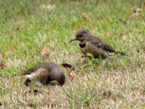Northern Flicker  9/15/13
