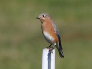 Eastern Bluebird 10/16/2013