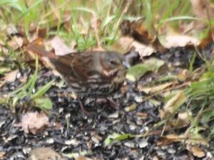 Fox Sparrow 11/4/2013