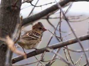 Harris's Sparrow 10/11/2013