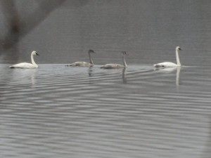 Trumpeter Swans 10/30/2013