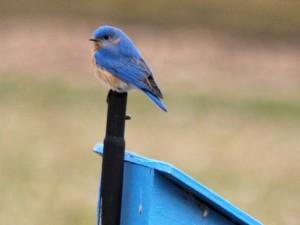 Eastern Bluebird 4/26/14