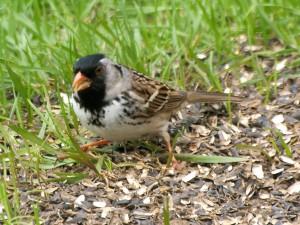 Harris's Sparrow 5/10/14
