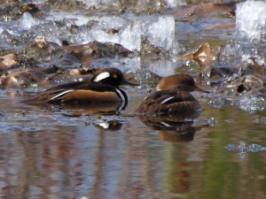 Hooded Mergansers 4/11/14
