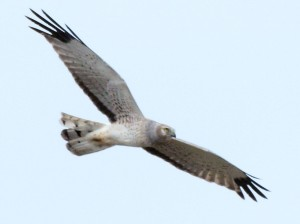 Northern Harrier 04/26/14
