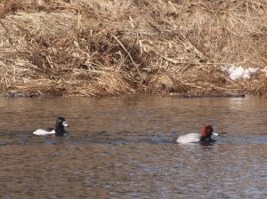 Redhead and Ring-necked Duck 4/22/14