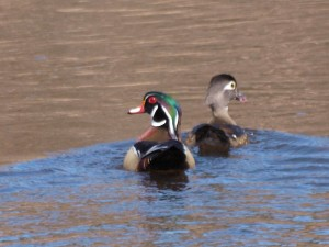 Wood Ducks 4/22/14