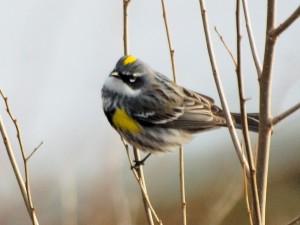 Yellow-rumped Warbler 4/24/14