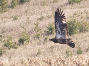 Bald Eagle 11/8/2014