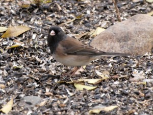 Oregon Junco 10/25/2015