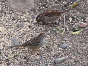 White-crowned and White-throated Sparrows 10/25/15
