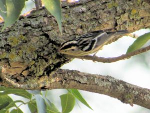 Black and White Warbler 8/9/2016