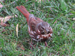 Fox Sparrow 10/17/16