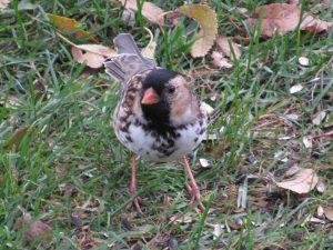 Harris's Sparrow 10/17/16