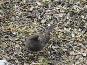 Dark-eye Junco 3/1/17
