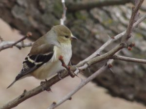 American Goldfinch 3/24/17