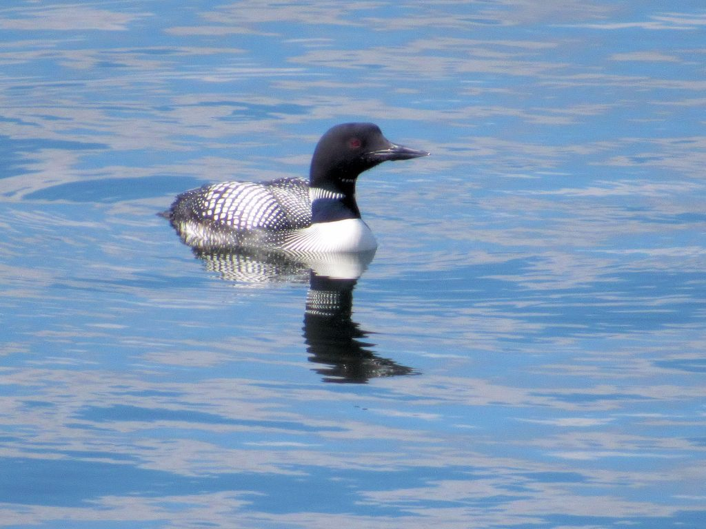 Baby common loon