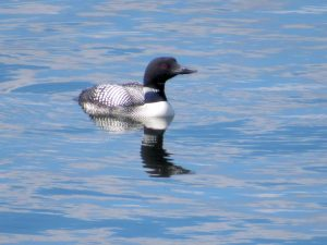 Common Loon 3/30/17