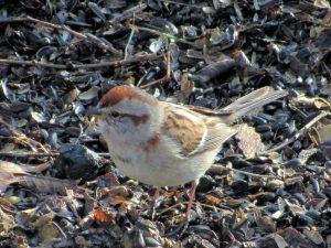 American Tree Sparrow 3/6/17